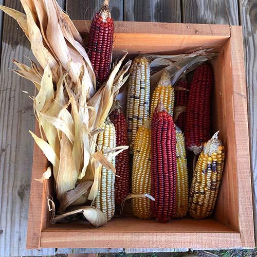 Creek Indian Corn (Heirloom Corn)
