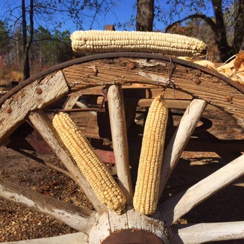 Hasting's Prolific Corn Seed (Non-GMO)