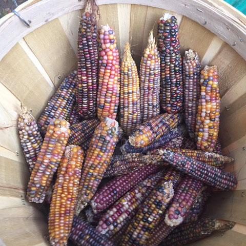 Glass Gem Corn Seed (Heirloom Corn)