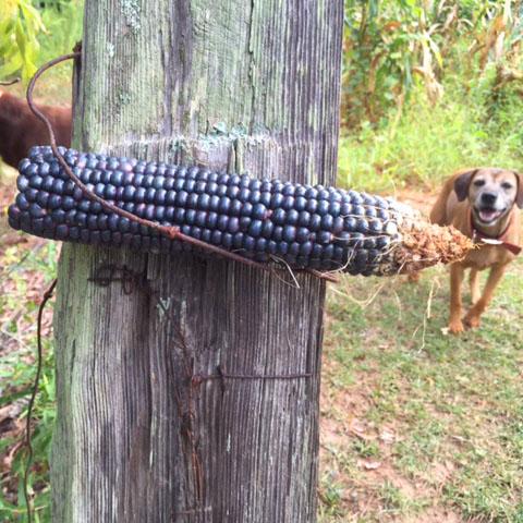 Blue Indian Corn Seed  (Heirloom Corn)