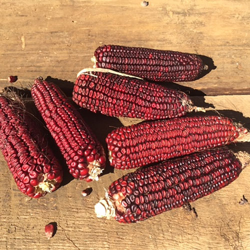 Jimmy Red Corn Seed (Heirloom Corn)