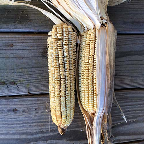 Thomas Jefferson's Sweet & Shriveled corn (Heirloom Corn)