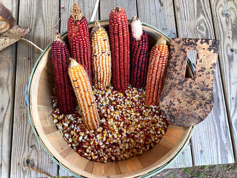 Rediscovered Creek Indian Corn